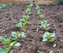 bohnen anbauen anleitung bohnen pflanzen anleitung zum anbauen bohnen plantura