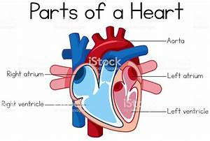 Parts Of Heart Diagram Stock Illustration - Download Image Now