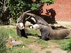 What are ways anteaters protect themselves? - Quora