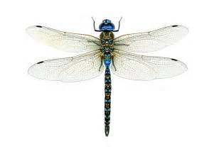 Dragonfly L chasing dragonflies and damselflies audubon