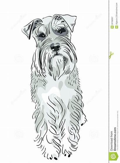 Schnauzer Dog Miniature Miniatura Salt Breed Dogs