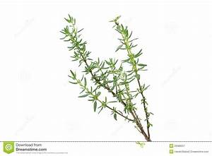 Fresh Thyme Herb Royalty Free Stock Photography - Image ...