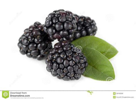 fresh blackberries fresh blackberries stock image image of organic whole 28193299