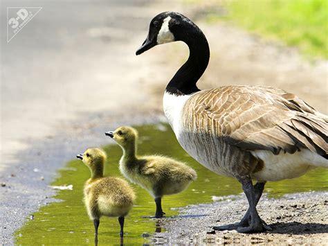 platform bird feeder canada goose 3d pet products3d pet products