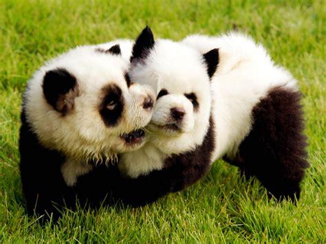 cuisine norvegienne trop mignons les chiens pandas font fureur en chine grazia