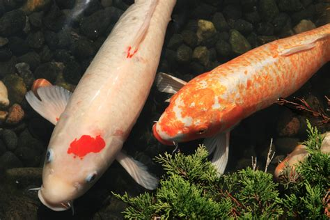 basics  koi breeding part  koi story