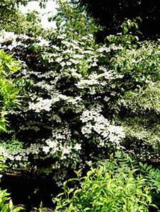 Cornus Kousa Schmetterling : cornus kousa 39 schmetterling 39 eurodogwoods ~ Michelbontemps.com Haus und Dekorationen
