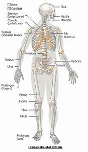 Skeletal Coccyx Bone Is The Ending Tail Like Structure