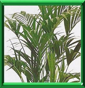 Plante Verte D Appartement : kentia ou howea forsteriana fiche technique compl te ~ Premium-room.com Idées de Décoration