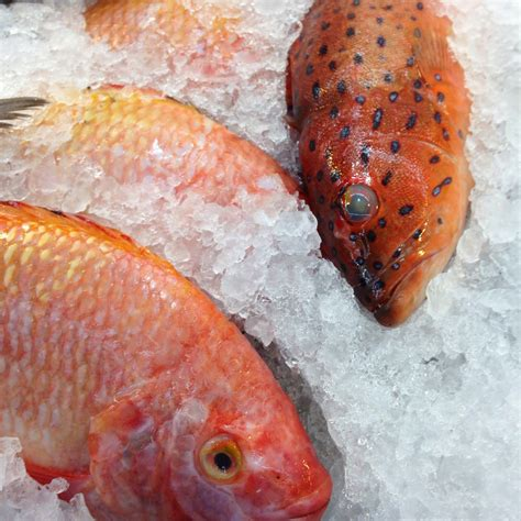 fish grouper spotted tionary dictionary
