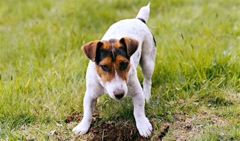jack russell terrier breed information