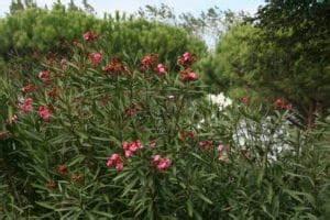Oleander Zurückschneiden Video : oleanderstr ucher schnitt pflege und berwinterung ~ Lizthompson.info Haus und Dekorationen