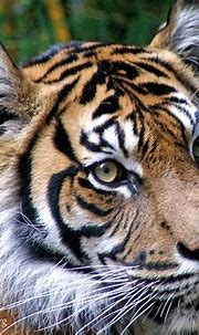 Eyes of Truth... | This is the first of my $5 tigers to ...