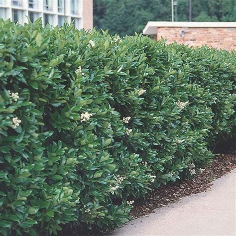 green shrubs 25 best ideas about ligustrum on pinterest harry potter tumblr chanson choixpeau and lettre