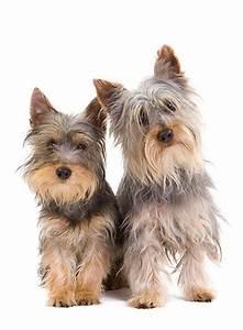 Silky terriers   Silky Terrier   Pinterest