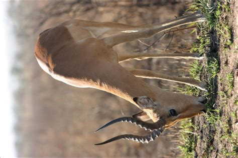 antelopes pictures  images