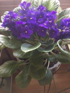 african violet plant  leaves  curling hometalk