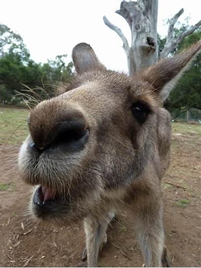 Kangaroo Face Funniest Laugh Funny Funnyexpo