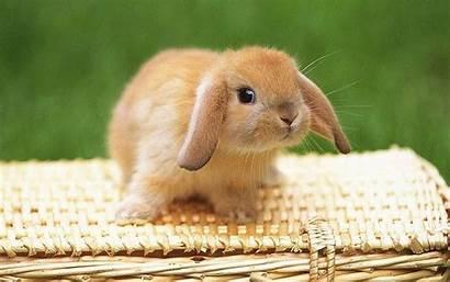 Bunny Bunnies Wallpapers Rabbit Desktop Wallpapertag Nursery