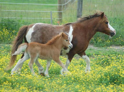 horses baby horse miniature mini wallpapers american pony cute animals animal facts farm age