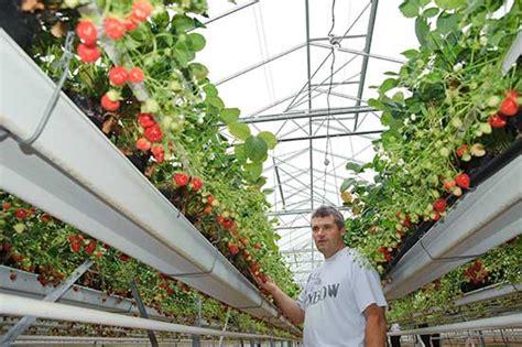 fraisiers en pots suspendus fraiseraie