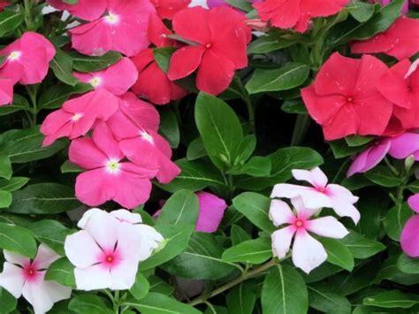 Vinca (pervinca, sposini): pianta perenne con fioritura