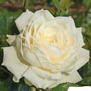 Alte Rosensorten Stark Duftend : bilder fotogalerie unserer rosen rosenparadies loccum ~ Michelbontemps.com Haus und Dekorationen