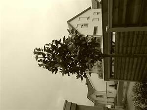 Kleinwüchsige Immergrüne Hecke : tulpenmagnolie rustica rubra magnolia soulangiana ~ Lizthompson.info Haus und Dekorationen