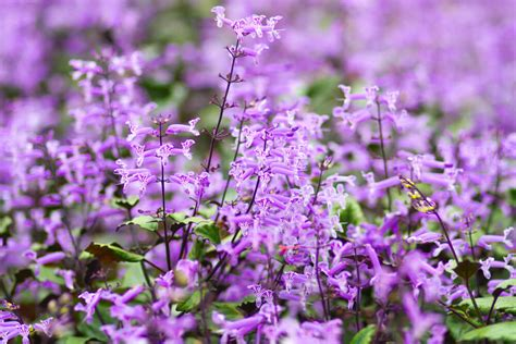 mona lavander plectranthus pure beauty farms
