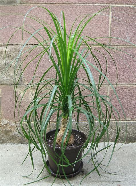 ponytail palm tree information   care