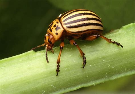 Filecolorado Potato Beetle Leptinotarsa Decemlineata