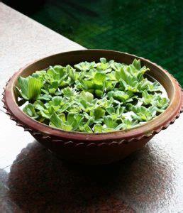 tanaman hias air jenis mendapatkan budidayanya