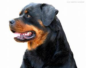 Big Rottweilers Wallpapers - WallpaperSafari