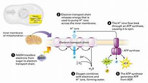 3 Simple Stages In Cellular Respiration And How They Work