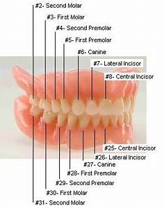Tooth Numbers Diagram: Diagrams of how primary and ...