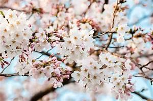 Sakura 2017  Japan Meteorological Corporation Releases