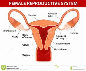 Tag: female reproductive system pictures without labels ...