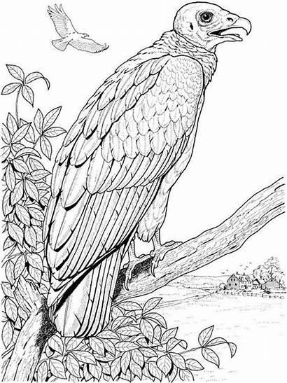 Coloring Vulture Pages Vultures Birds Printable Buzzard
