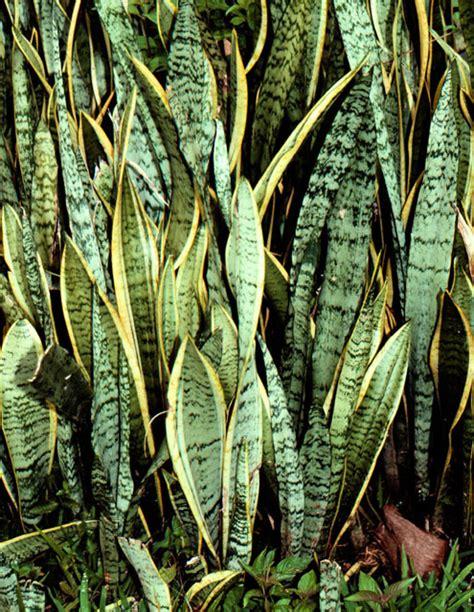 jelitafebrianti  membudidayakan tanaman sansevieria