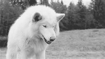 Wild Wolves Wolf