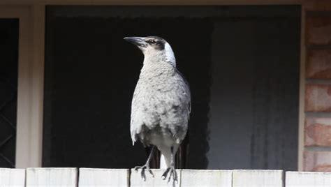 gymnorhina tibicen australian magpies also called flute