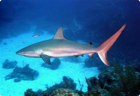 interesting shark facts   caribbean reef shark