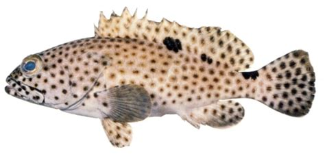 grouper spotted fish