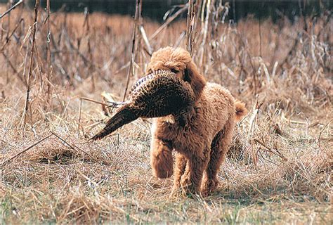 Non Shed Dogs Large by Allergic To Dog Hypoallergenic Dog Breeds Any Dog That