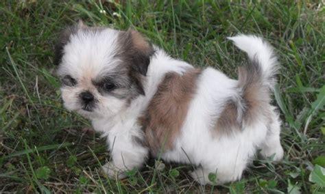 Fotos Comprovam Que O Shih Tzu E Um Dos Cachorros Mais Fofos Tudo Sobre Cachorros