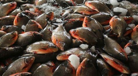 Bibit Ikan Bawal Batam budidaya ikan bawal di batam lalu dijual ke singapura