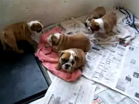 Weeks Old English Bulldog Puppies For Adoption You