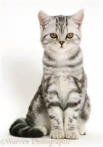 cat sitting silver tabby cat sitting photo wp15065