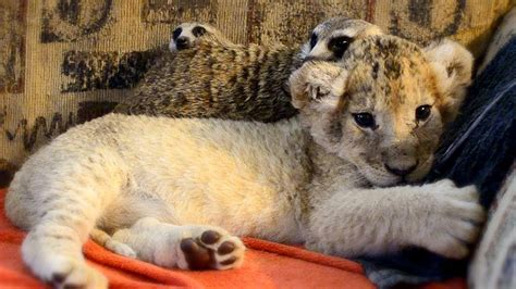 Unlikely Animal Friends: Cute Lion Cub and Meerkats - YouTube
