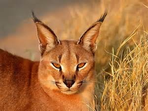 caracal cat cats the caracal kimcion